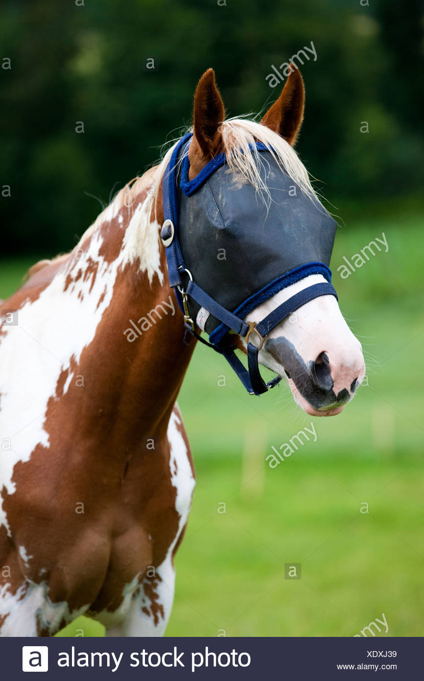 Fly cover for horses in the paddock, Paint Horse, Sorrel Overo, North Tyrol, Austria, Europe - Stock Image