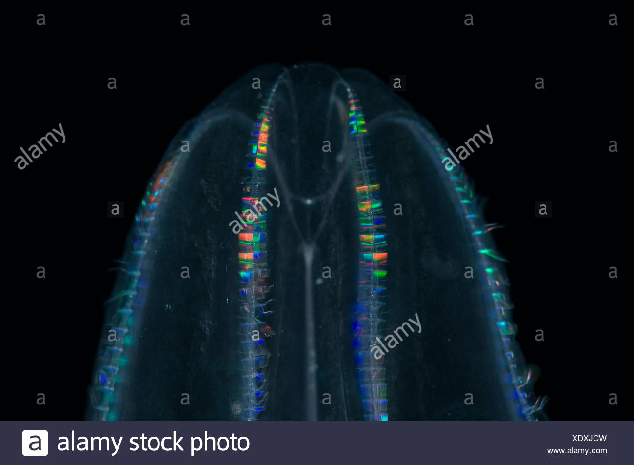 Comb Jelly {Bollinopsis ssp} caught with 1m ring net between 0 and 150m, comb plates, Mid-Atlantic Ridge, North Atlantic Ocean - Stock Image