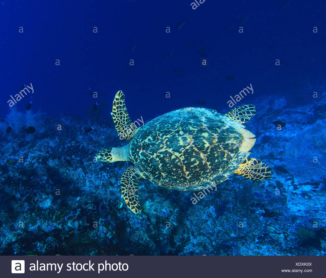 Sea turtle swimming in coral reef - Stock Image