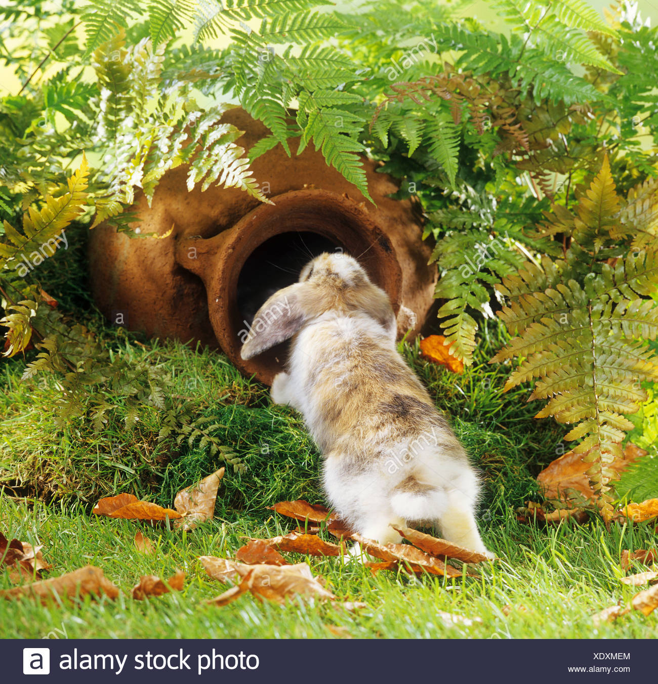 aoung pagmy rabbit - in garden with amphora - Stock Image