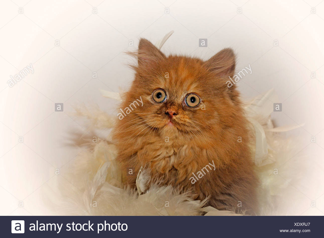 British Longhair, Highlander, Lowlander (Felis silvestris f. catus), portrait of a nine weeks old kitten in chocolate tortie wrapped into a feather boa Stock Photo