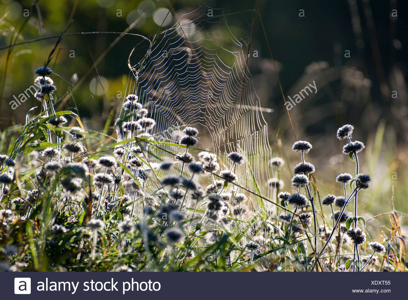 Spider web on an autumn morning - Stock Image