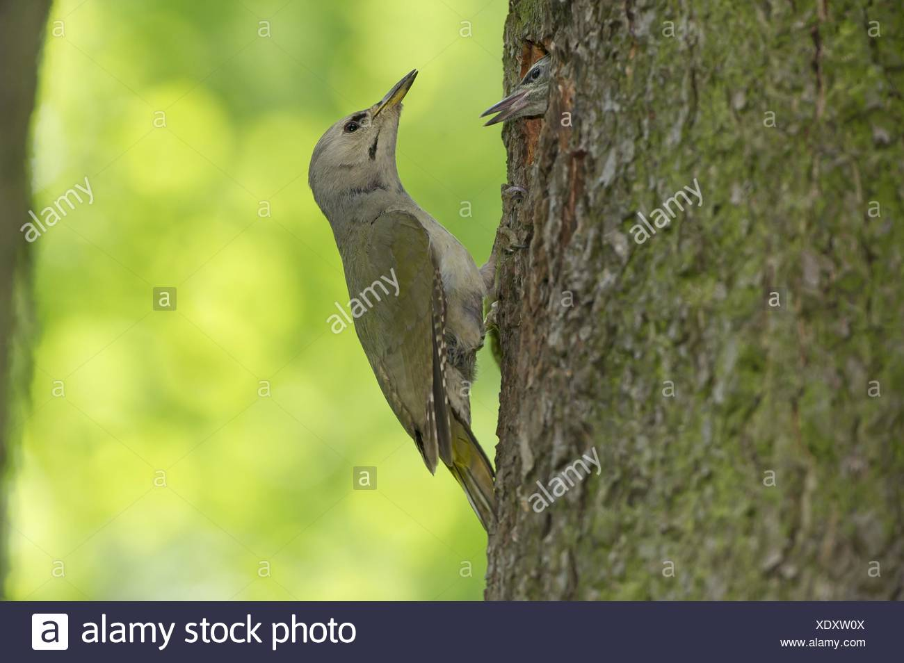 grey-faced woodpeckers - Stock Image
