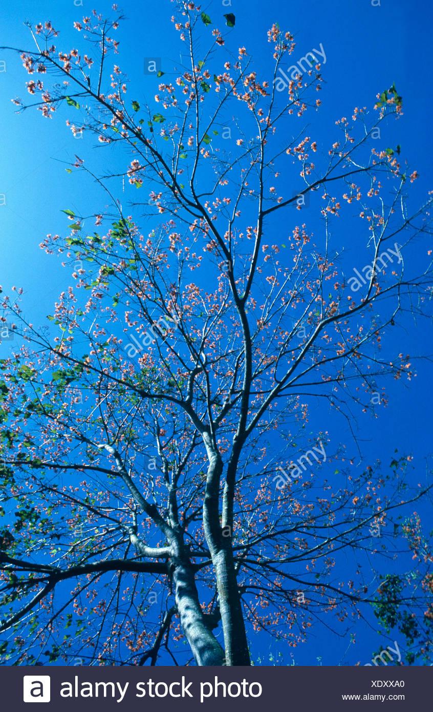 mountain immortelle (Erythrina poeppigiana), blooming tree against blue sky. Stock Photo