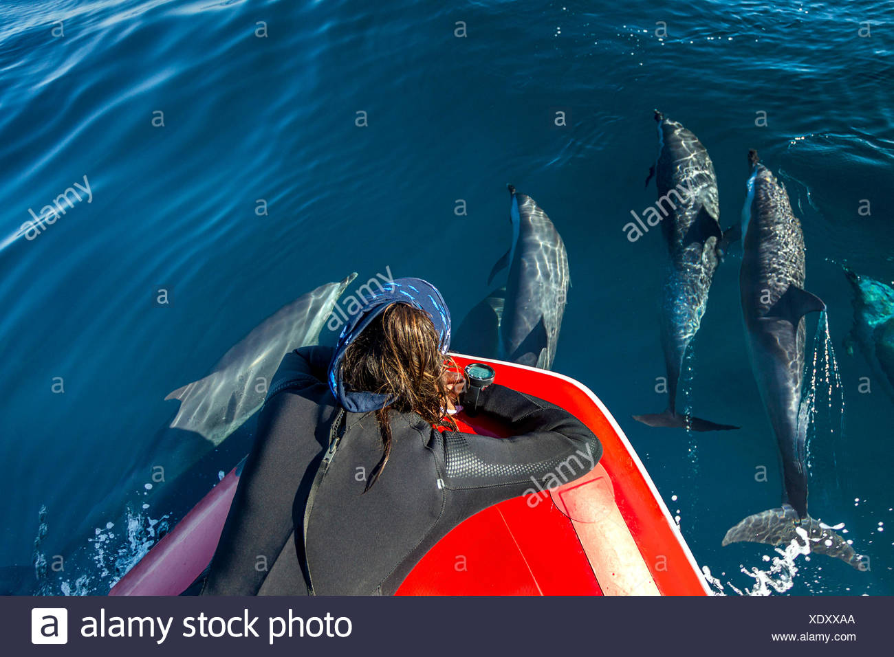 Diver watching pod of Pantropical Dolphins breaching for air, Port St. Johns, South Africa - Stock Image