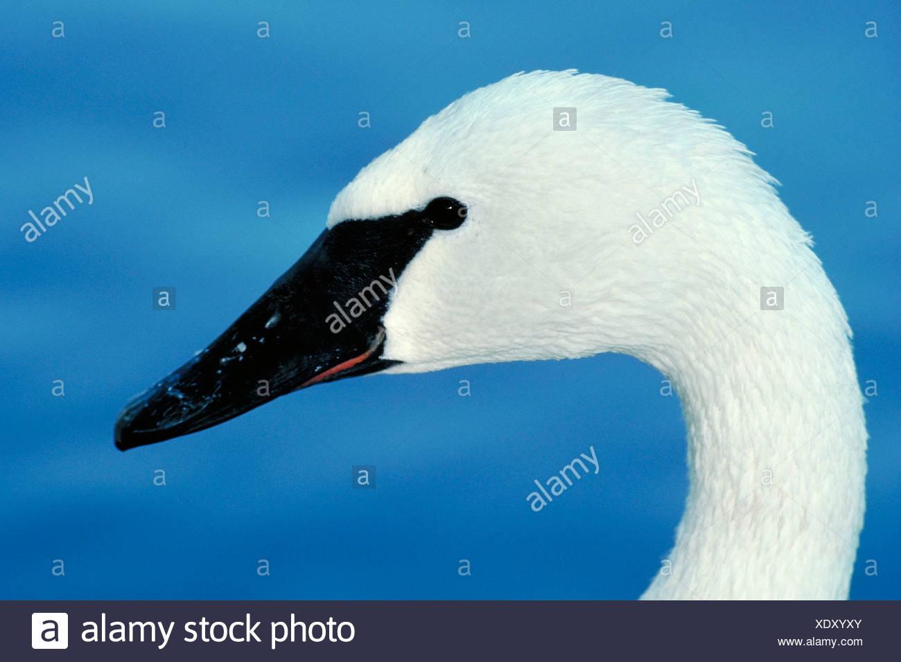 Trumpeter Swan Cygnus buccinator USA - Stock Image