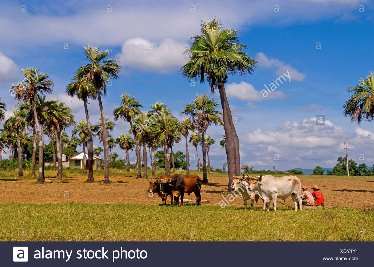 Old fashioned farming in tobacco fields in Sierra del Rosario mountains with oxen ploiwing fields, Cuba, Sierra del Rosario - Stock Image