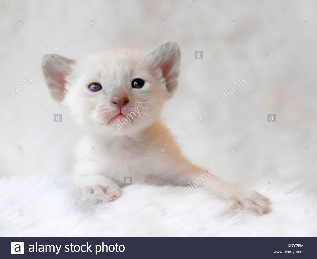 Small five week old siamese kitten. - Stock Image