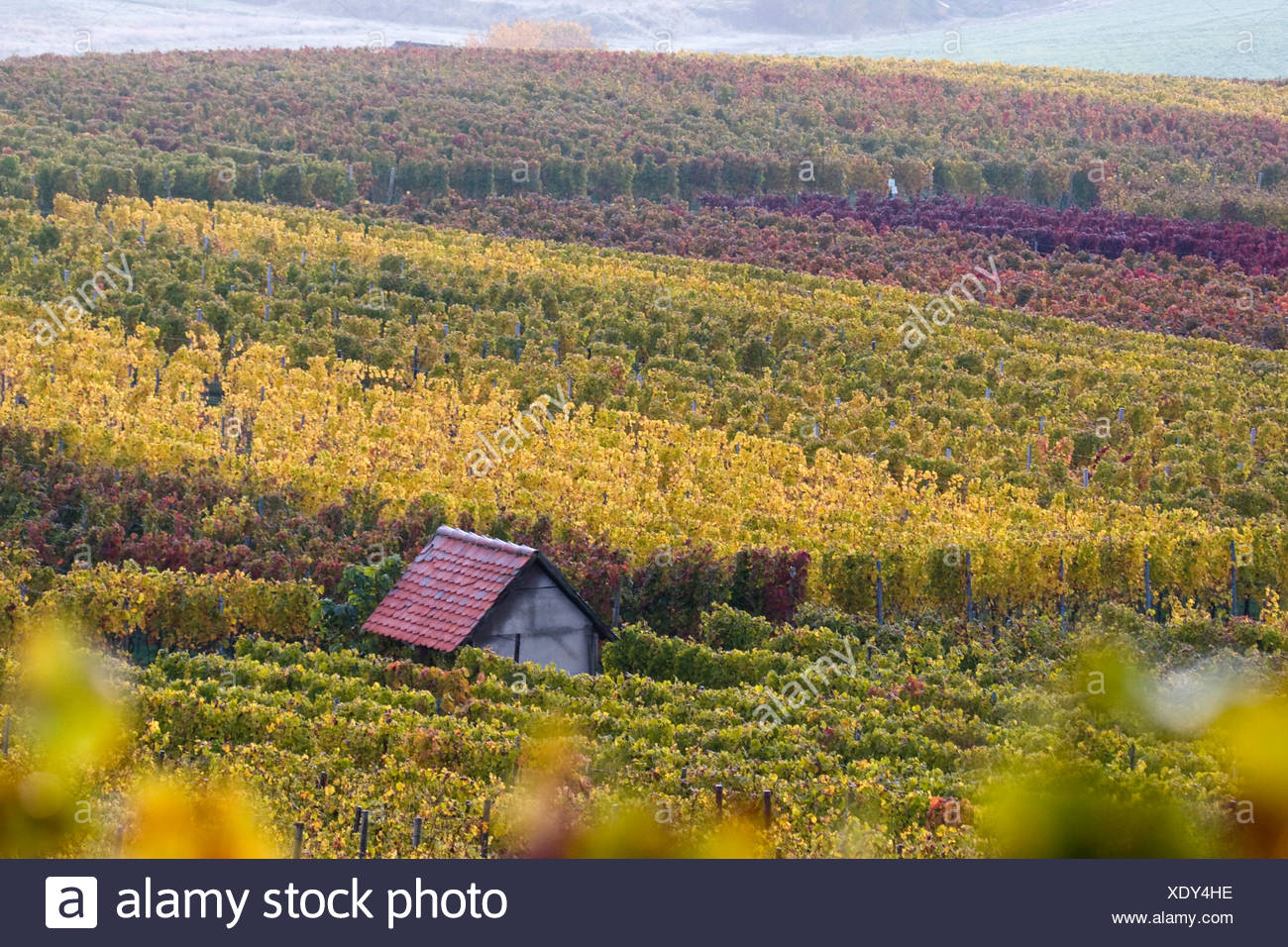 vineyard with vineyard house, Germany, Baden-Wuerttemberg, Ottilienberg, Heuchelberg, Kleingartach Stock Photo