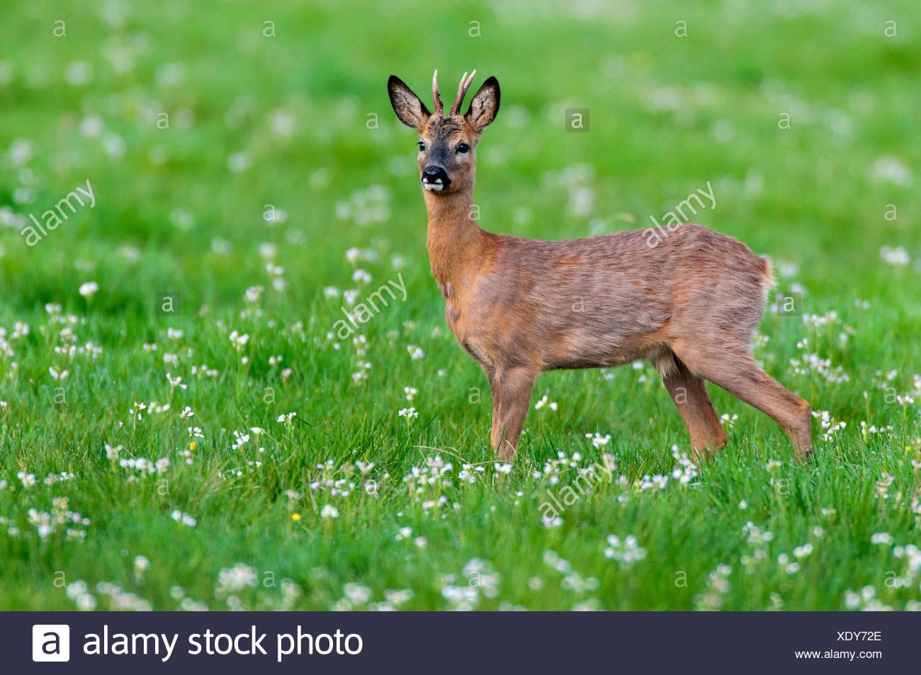 roe deer (Capreolus capreolus), roe buck in spring, Germany, Lower Saxony - Stock Image