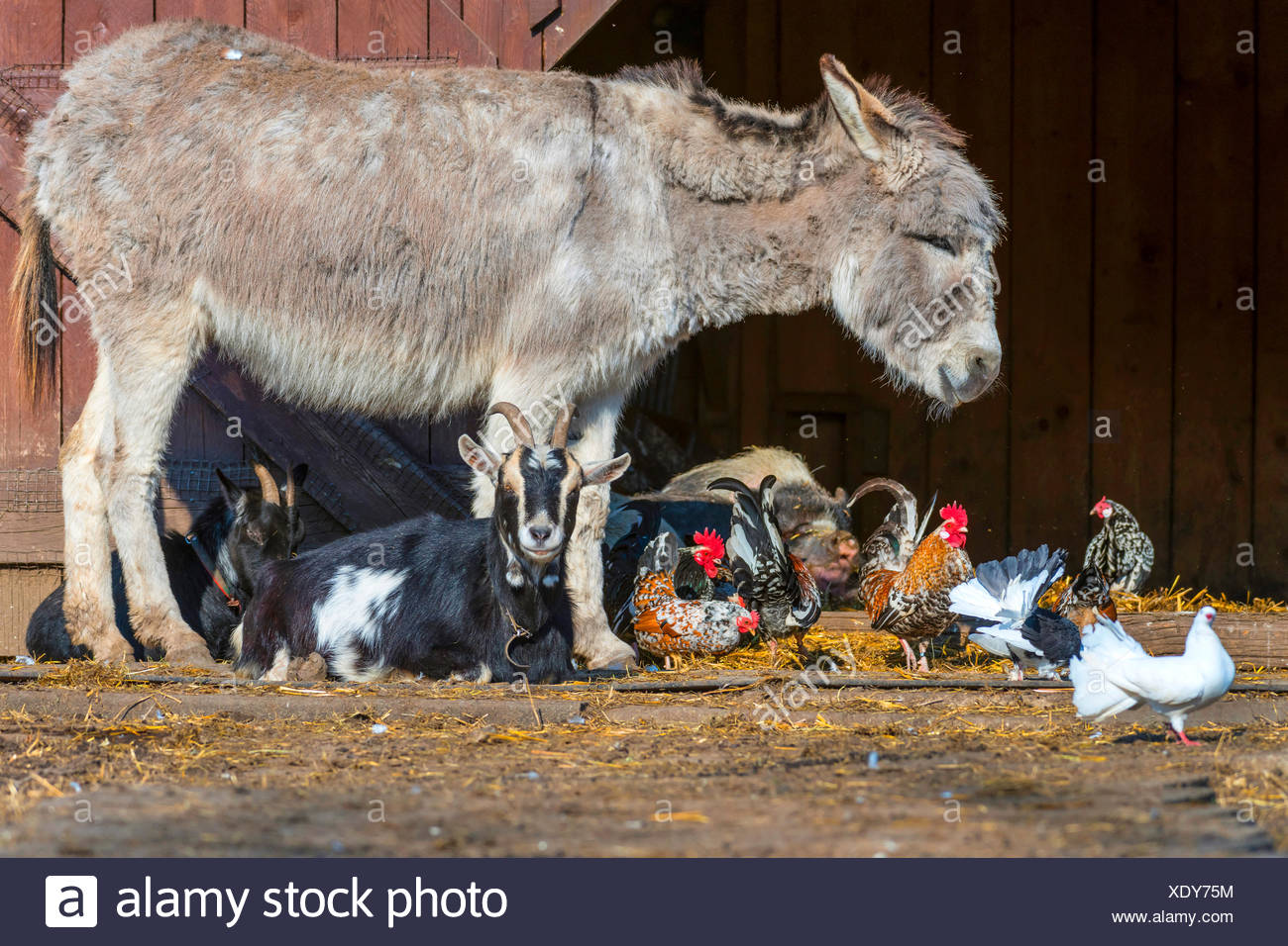 different species of farm animals in an open-air enclosure, Germany, North Rhine-Westphalia - Stock Image