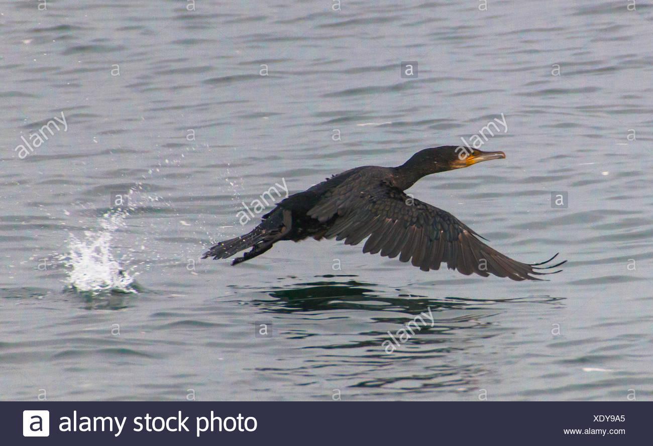 shag (Phalacrocorax aristotelis), taking off, Germany, Schleswig-Holstein, Heligoland - Stock Image