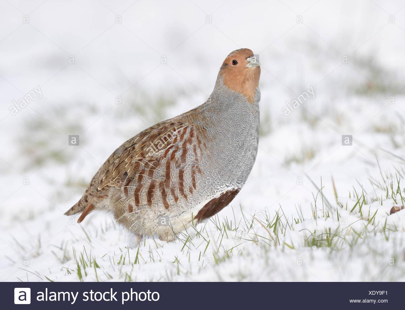 Grey Partridge Perdix perdix - Stock Image