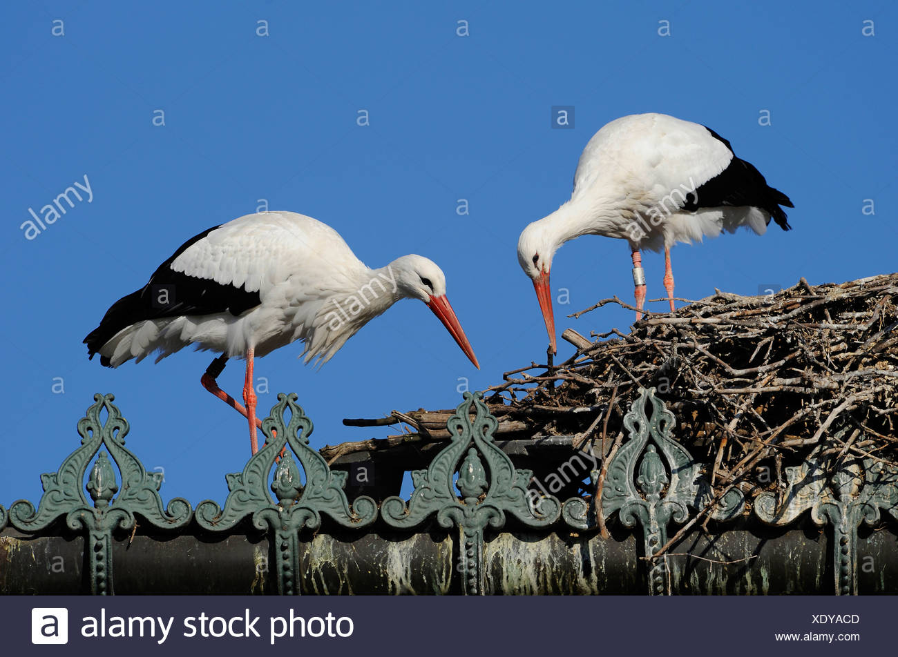 Pair of white storks (ciconia ciconia) Stock Photo