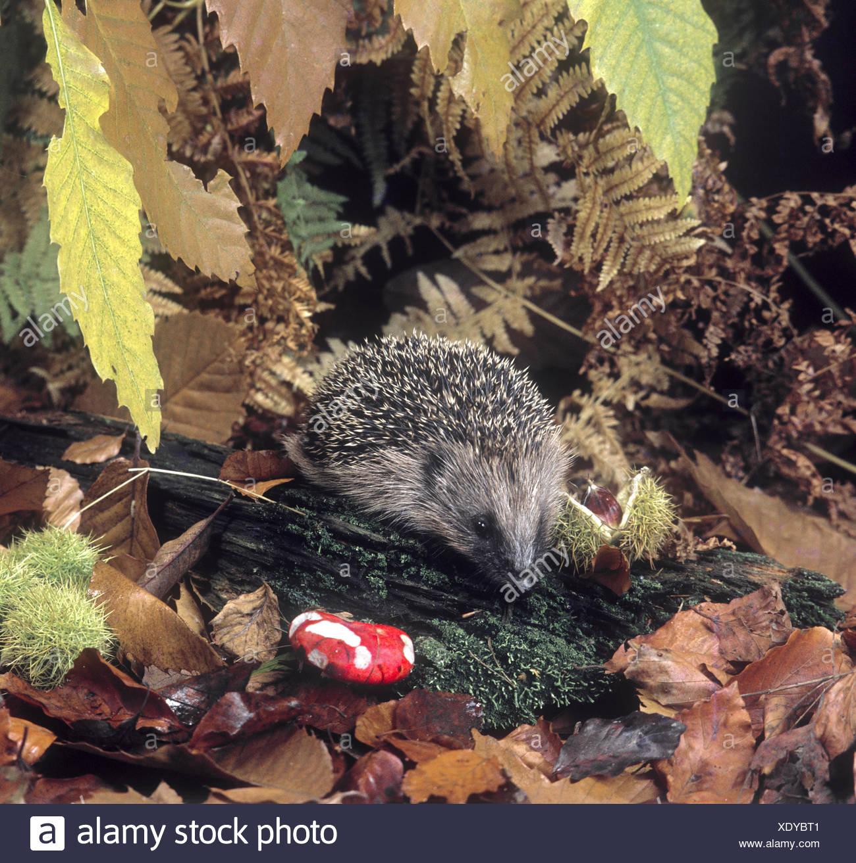 Hedgehog - Erinaceus europaeus - Stock Image