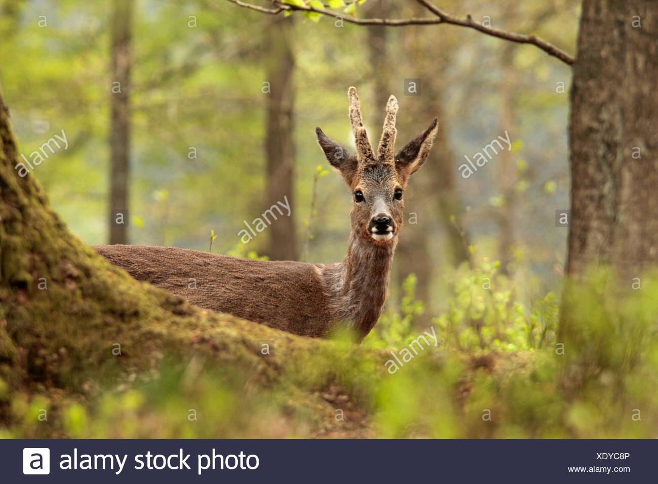 Roe Deer (Capreolus capreolus) buck in a forest in spring. Stock Photo