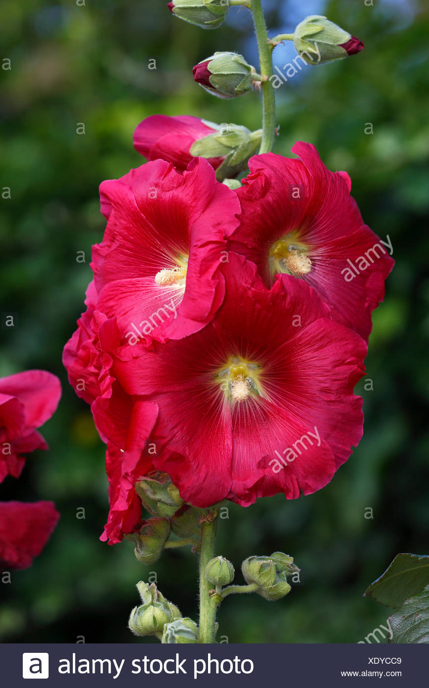 Ordinary Stockrose (Alcea rosea), also stock mint, Schleswig-Holstein, Germany - Stock Image