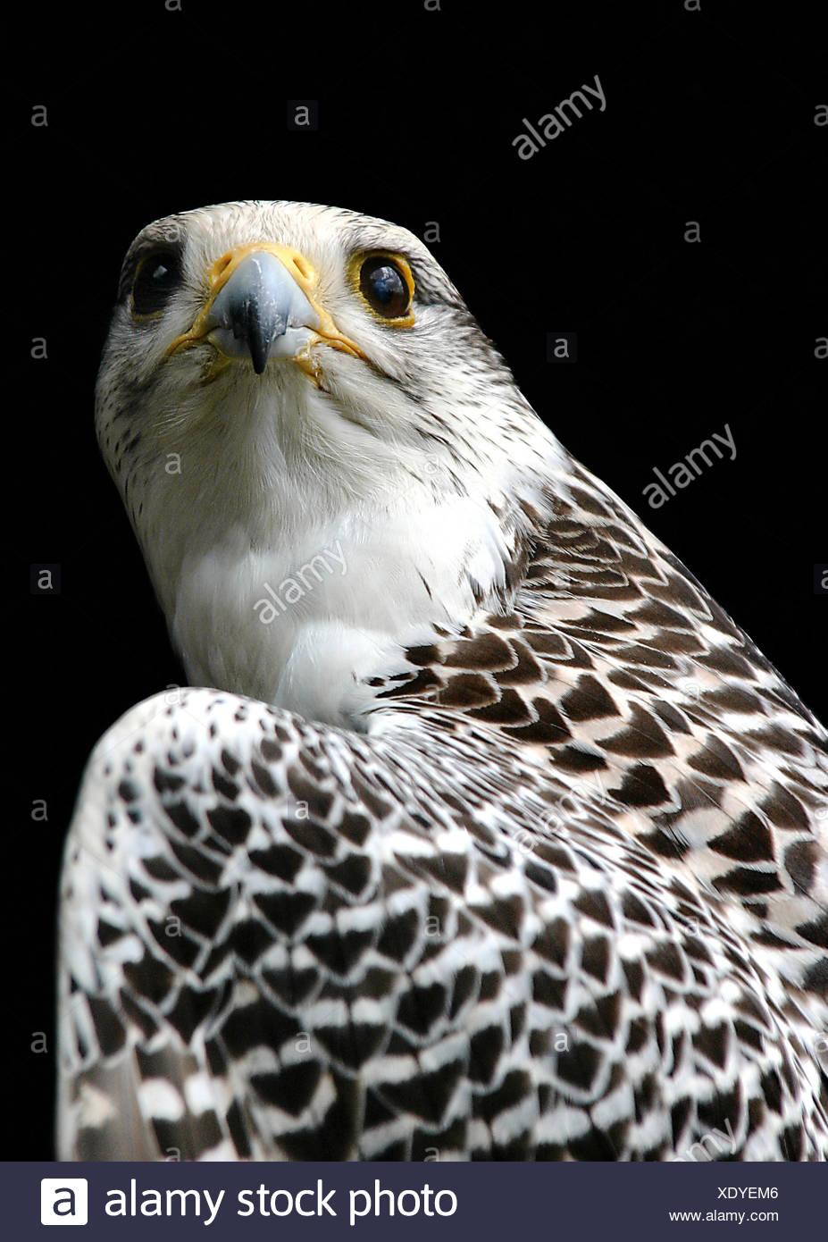 falcon,gyrfalcon,falconry - Stock Image