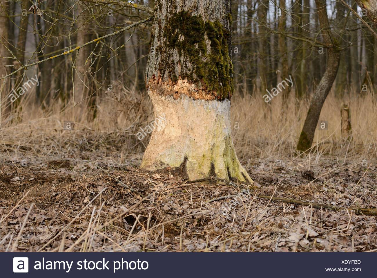 Aspen, Populus tremula, damaged by a beaver, Upper Palatinate, Bavaria, Germany, Europe - Stock Image