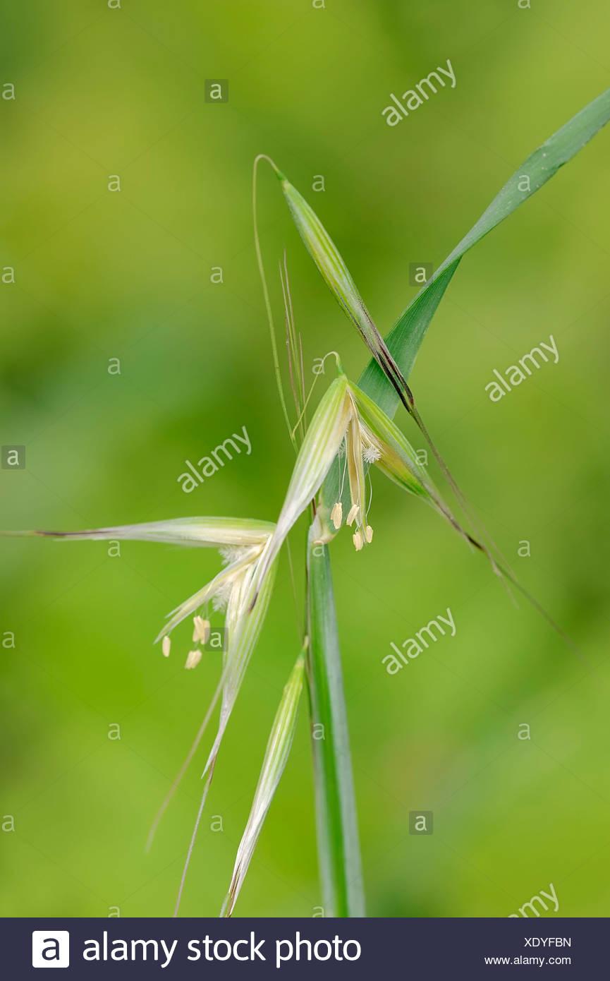 Animated Oat or Sterile Oat (Avena sterilis), flowers, Provence, Southern France, France Stock Photo