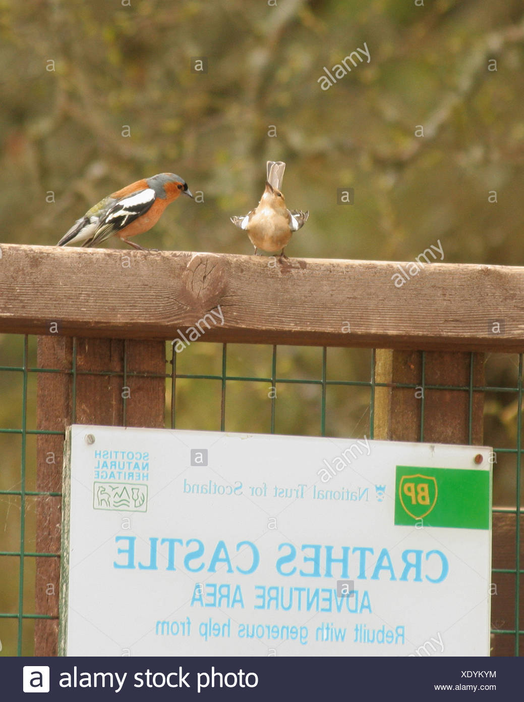 Male chaffinch (Fringilla coelebs) tries to impress the female. - Stock Image