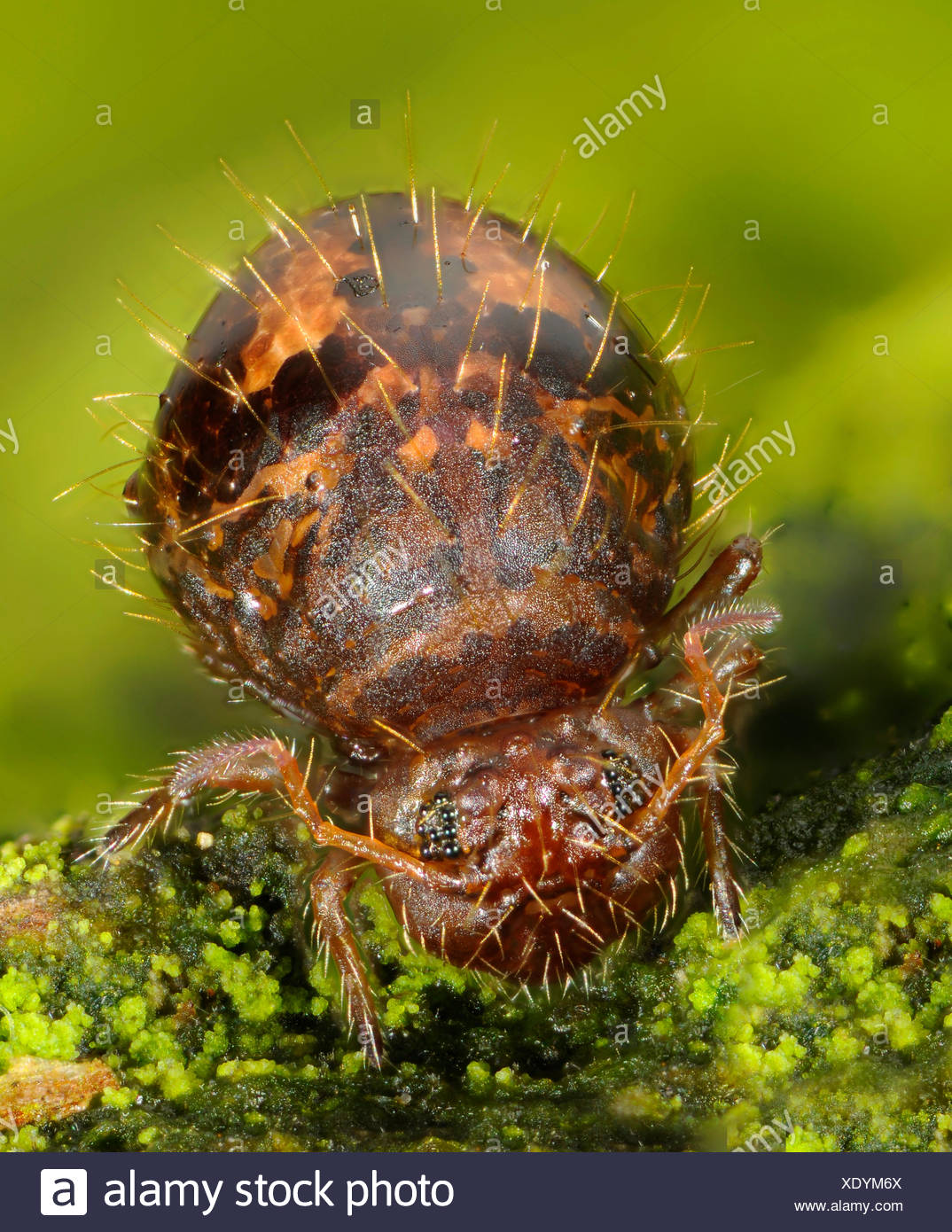 Springtail (Allacma fusca), front view, Germany - Stock Image