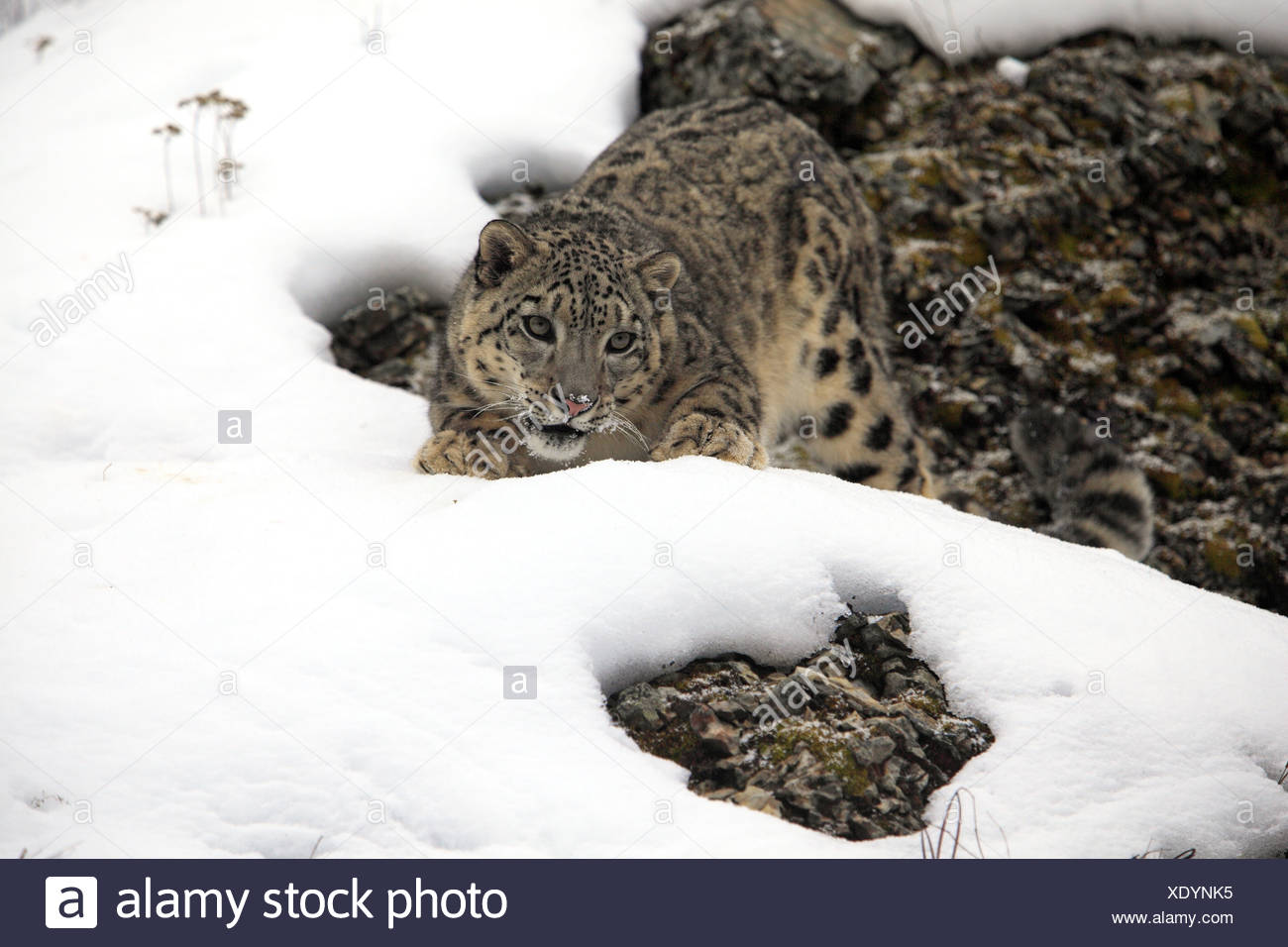 Snow Leopard (Panthera uncia) adult, crouching in snow, winter (captive) - Stock Image