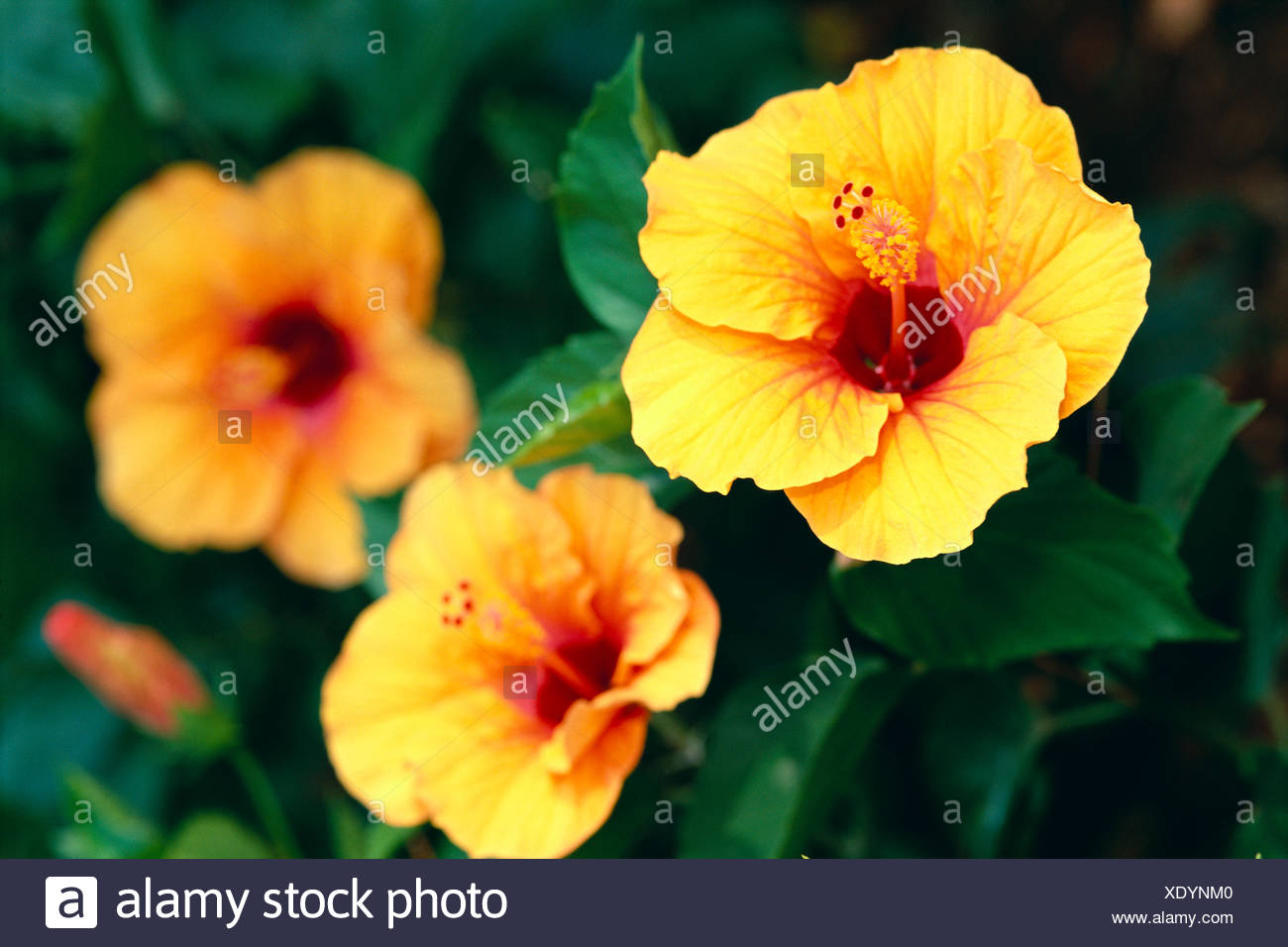 Dark Orange Hibiscus Flower