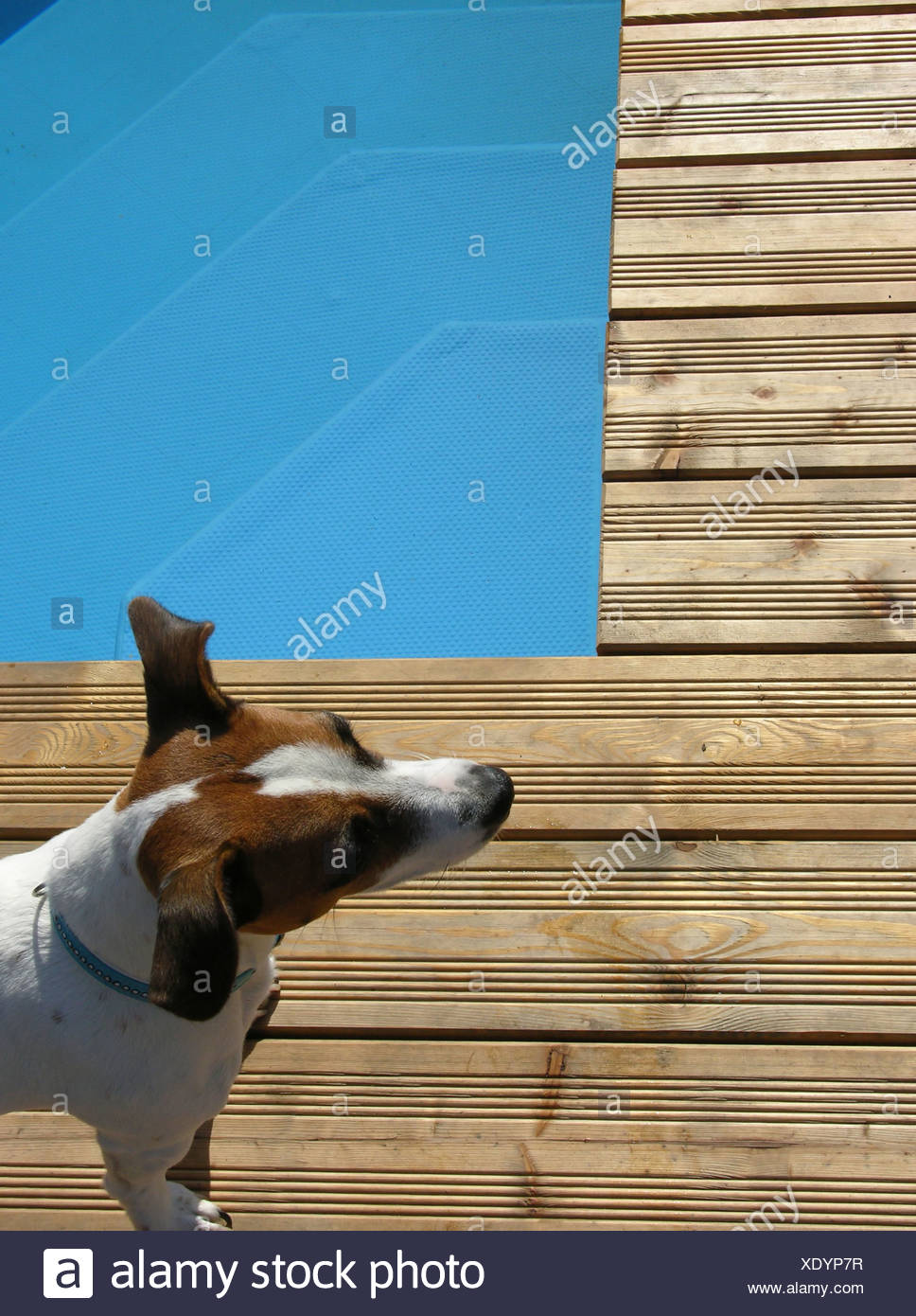 dog,jack russell terrier,pool edge - Stock Image