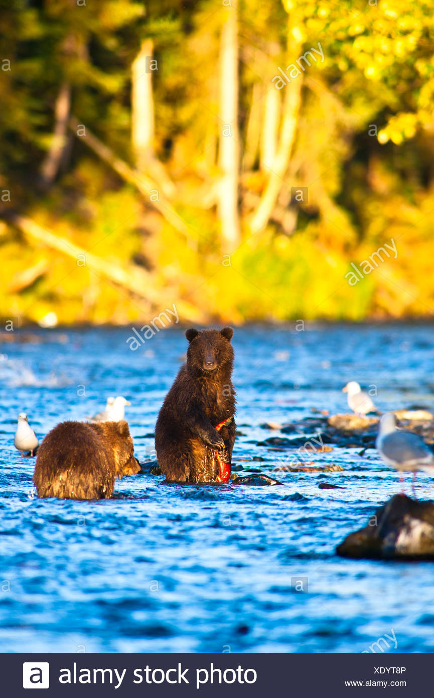 Two young brown bear cubs fishing for salmon on a late summer evening, Russian River, Kenai Penninsula in Southcentral Alaska - Stock Image