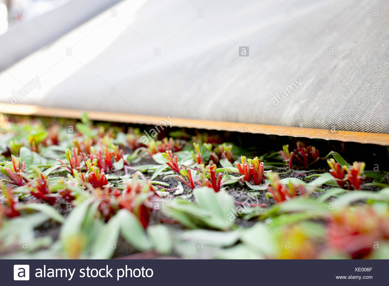 Close-up of harvested leafy vegetables - Stock Image