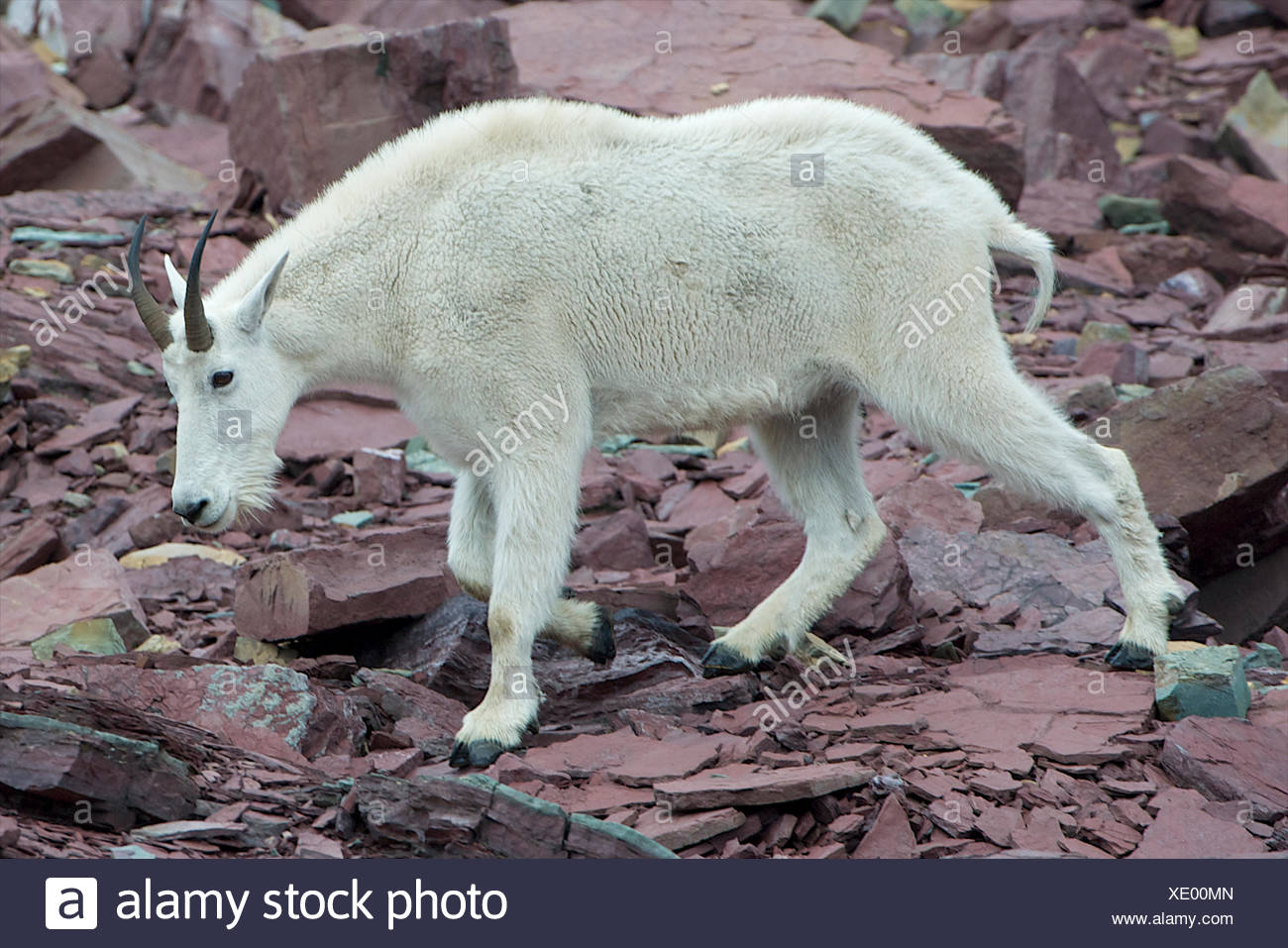 A younger mountain goat walks on maroon rocks. - Stock Image