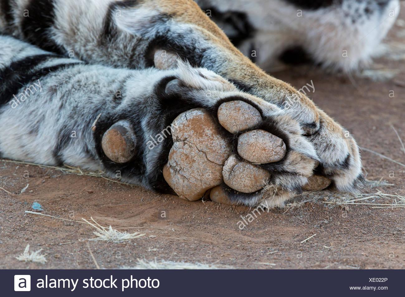 White Asian (Bengal) Tiger (Panthera tigris tigris), forlegs, paw, sole of foot visible - Stock Image