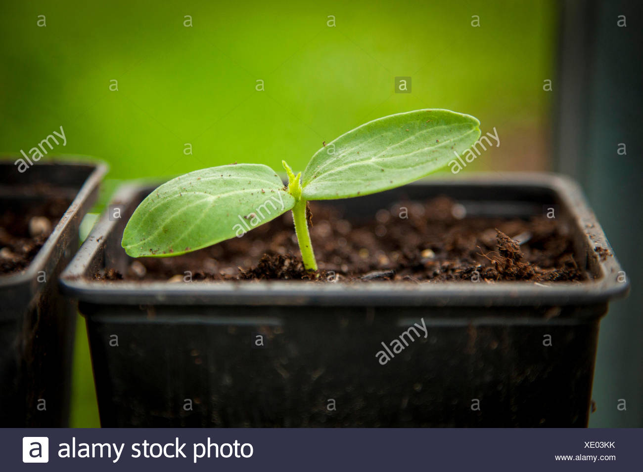 marrow, field pumpkin (Cucurbita pepo), seedling, Germany - Stock Image