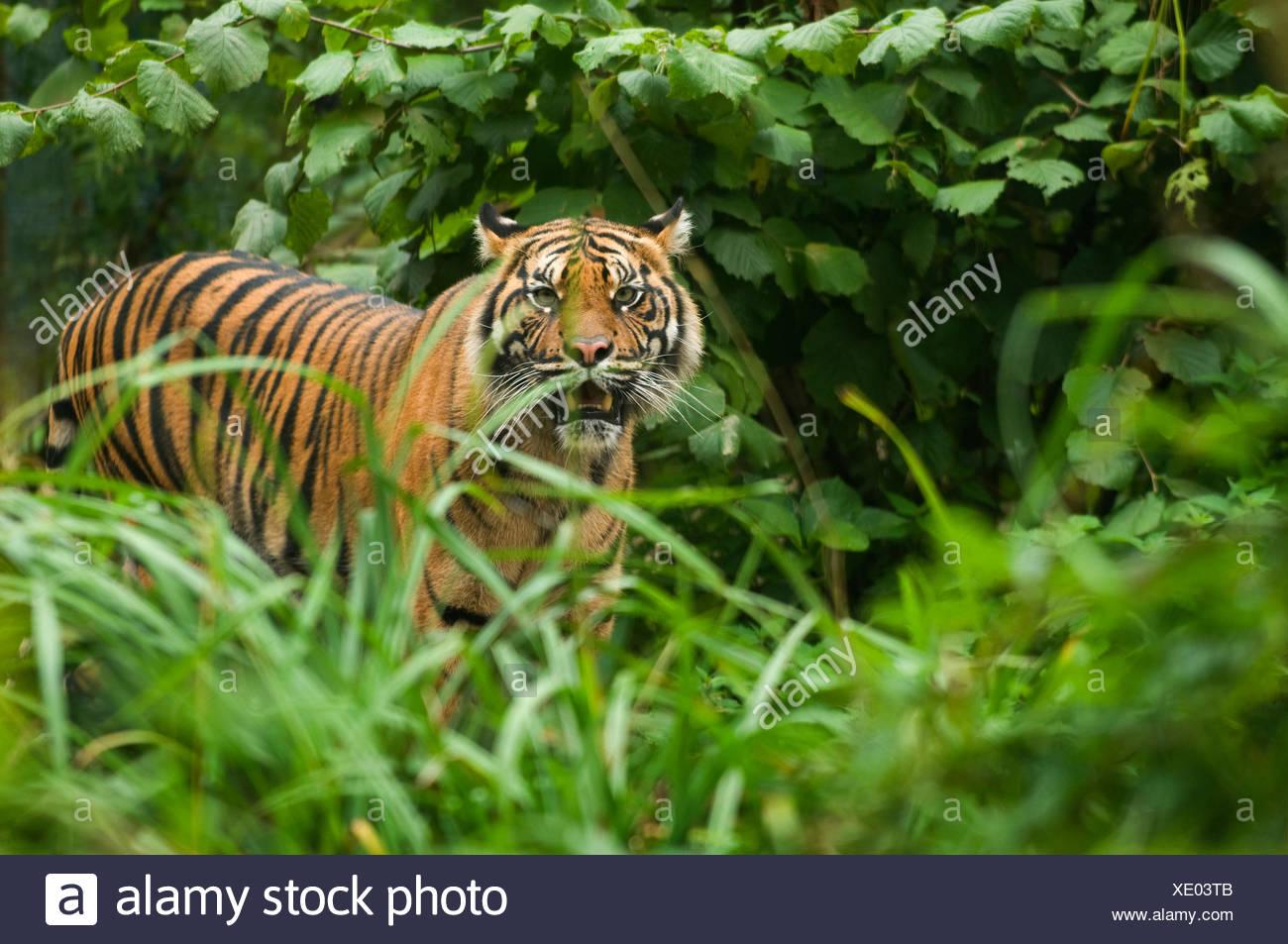 Sumatran tiger (Panthera tigris sumatrae) standing in long grass, snarling, captive. - Stock Image