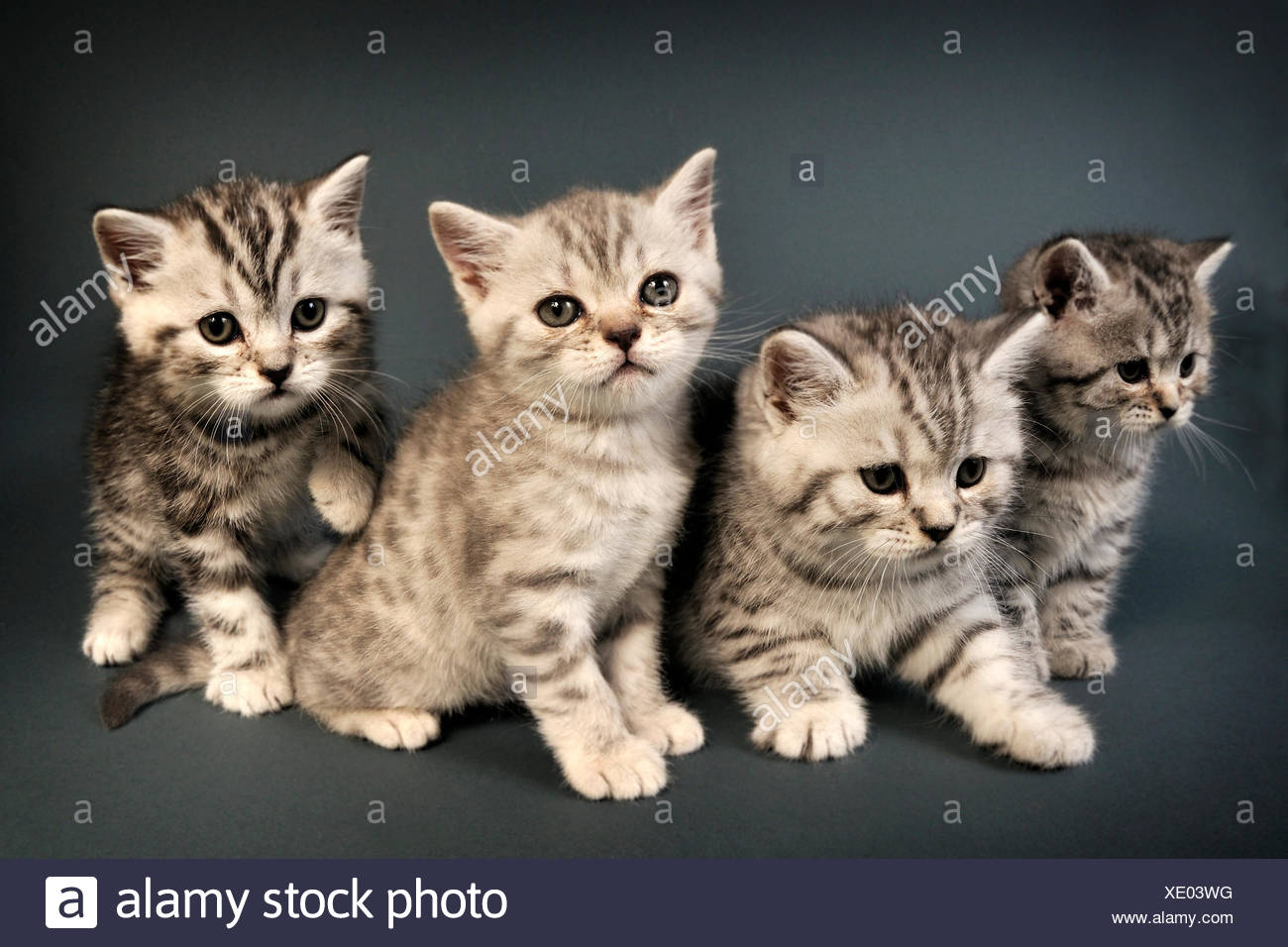 british shorthair kittens adorable animal baby beautiful cat charming companion cuddly cute domestic feline friend fur furry kitten kitty little loving mammal nice pet play puss pussycat small sweet tiger whiskers young  - Stock Image