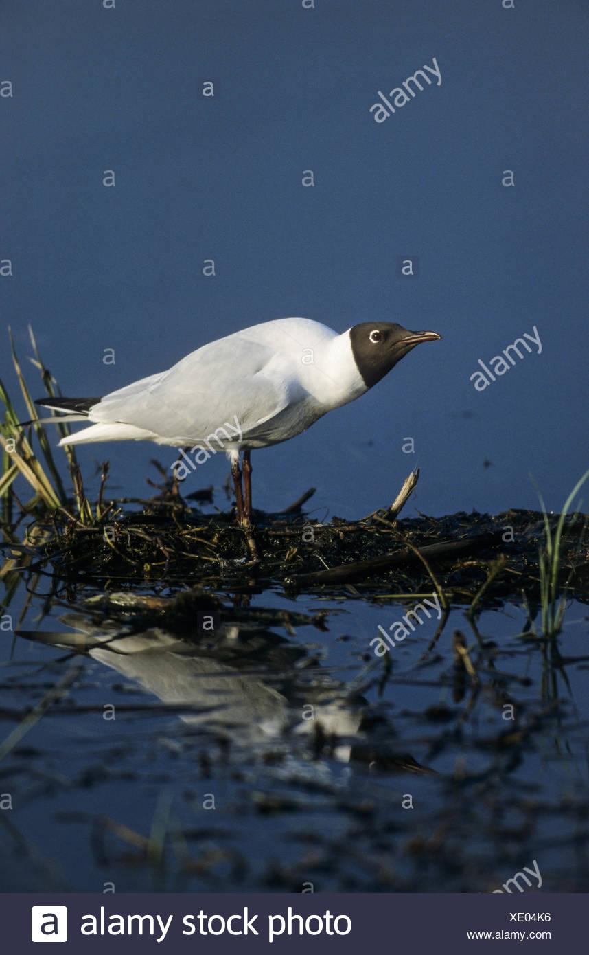 Black-headed Gull in breeding plumage Stock Photo