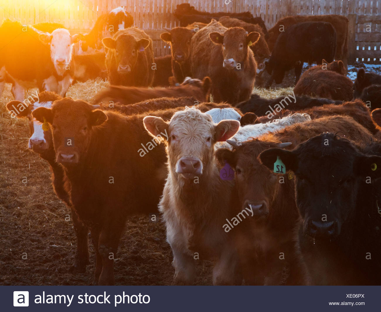 Livestock - Crossbred and mixed breeds of beef cattle in a feedlot pen at sunset / Alberta, Canada. Stock Photo
