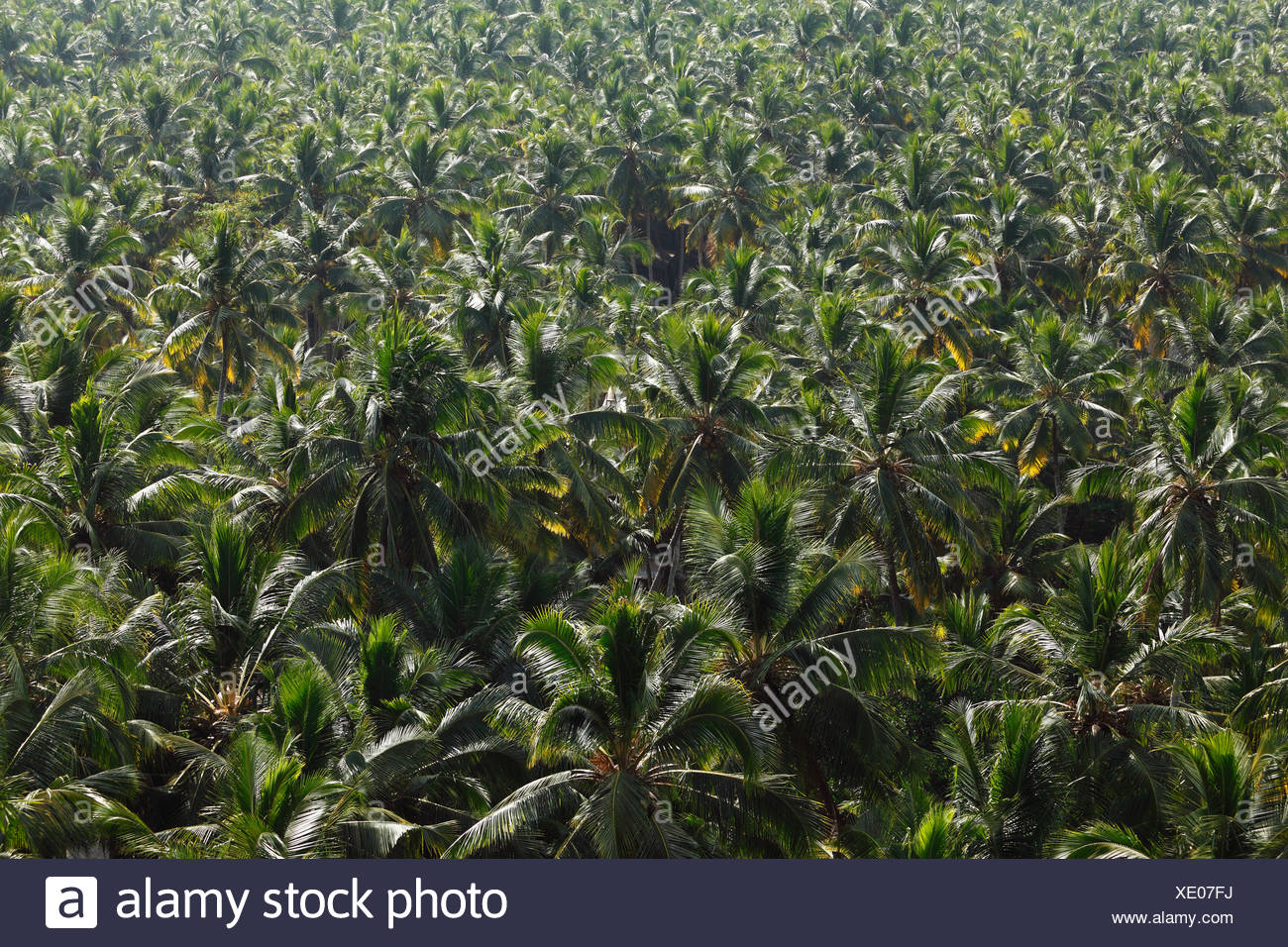 Forest of coconut palms, Malabarian Coast, Malabar, Kerala, India, Asia - Stock Image