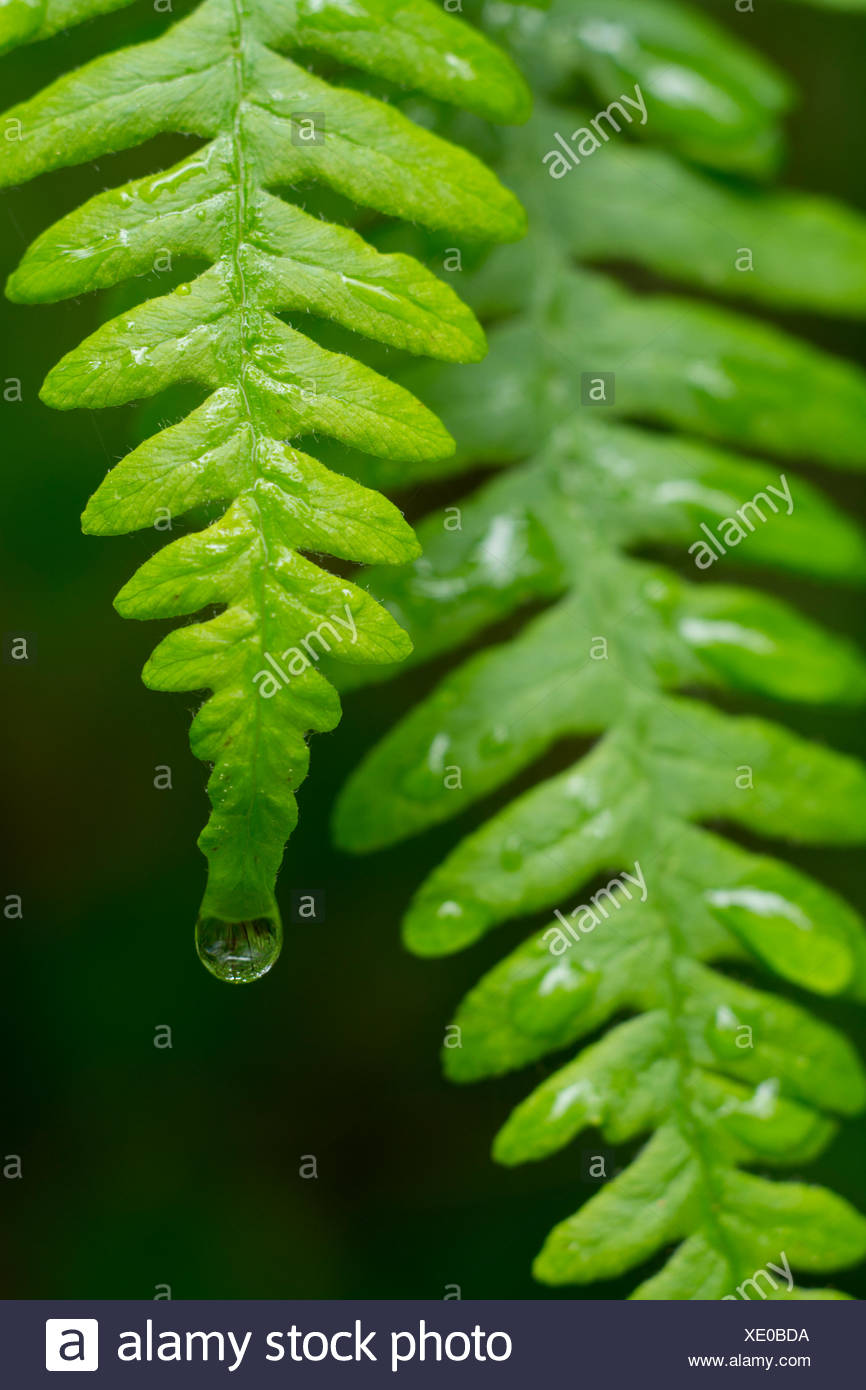 Polypodium glycyrrhiza, commonly known as licorice fern with raindrops, British Columbia, Canada Stock Photo