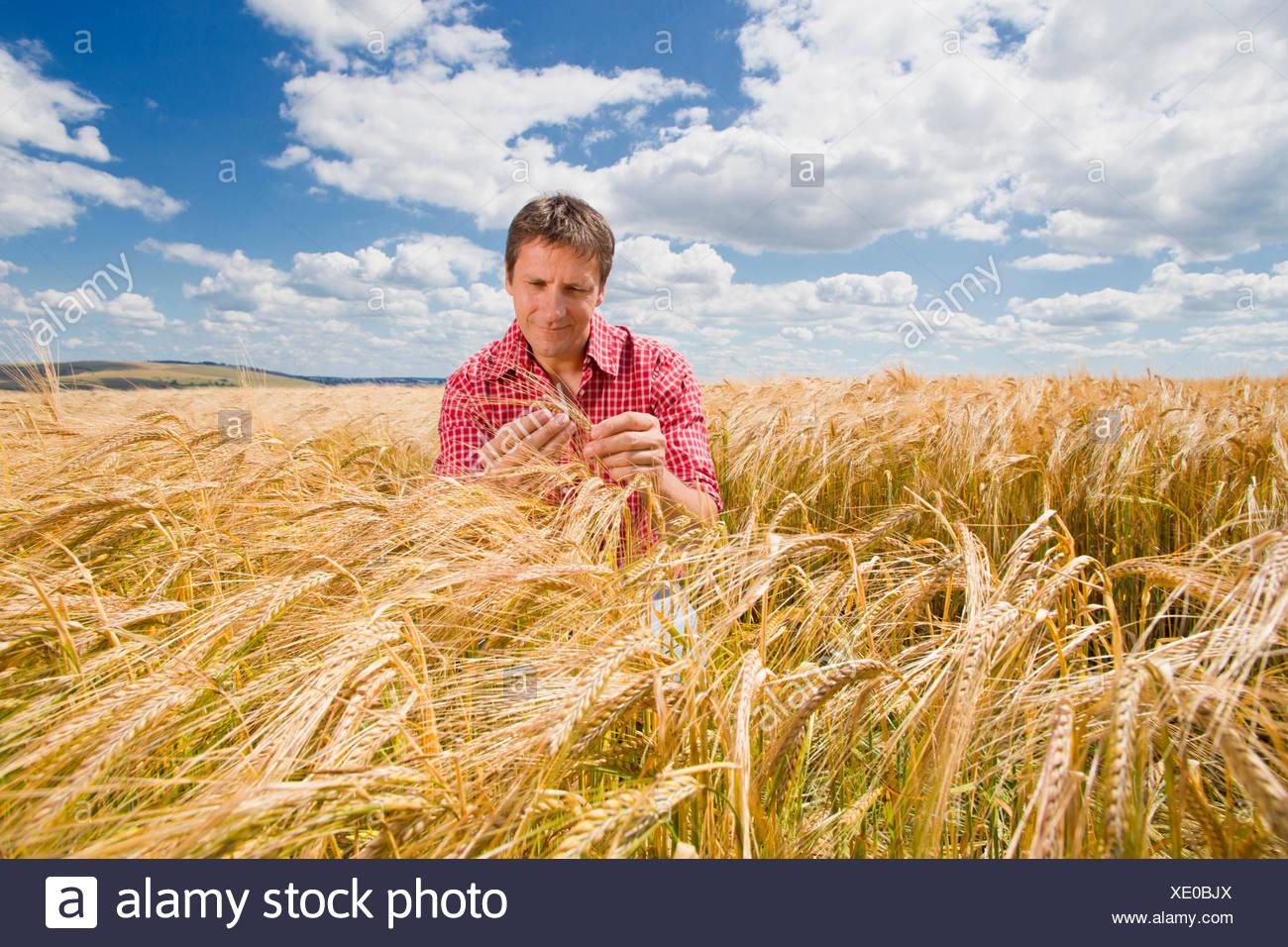 Farmer examining sunny rural barley crop field in summer Stock Photo