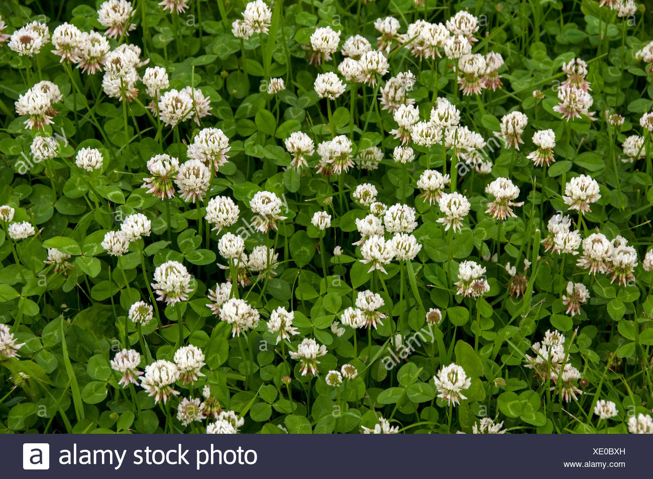 White Dutch Clover on lawn, Thunder Bay, ON, Canada - Stock Image