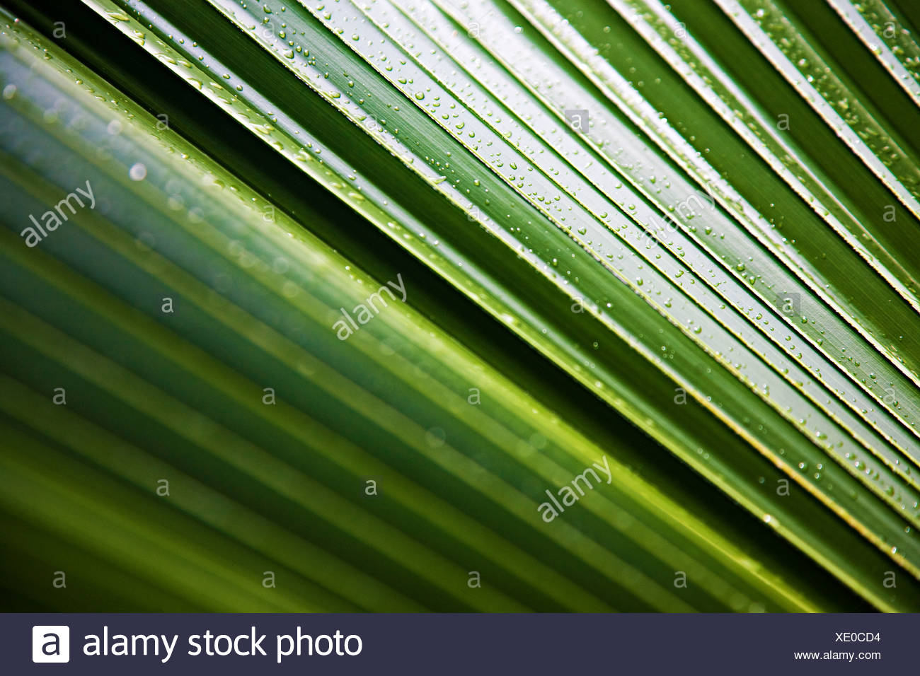 Water droplet on a frond - Stock Image