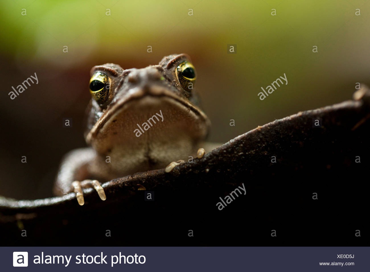 A frog watches from a water-filled leaf on the rainforest floor, Tambopata National Preserve, Peruvian Amazon Stock Photo