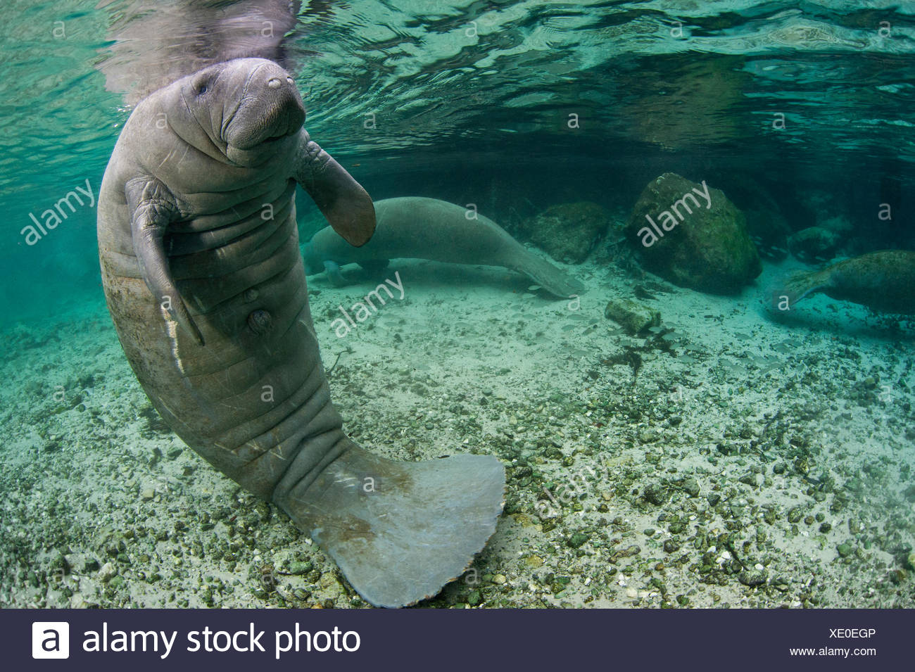 A Florida manatee (Trichechus manatus latirostrus) in upright posture with tail on river bed, outside Three Sisters Spring. Crystal River, Florida, USA. - Stock Image