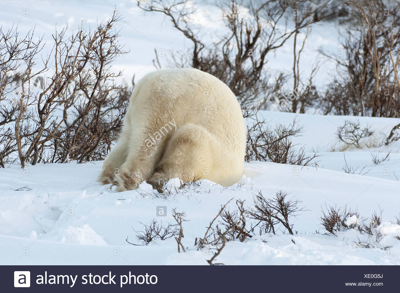 Polar bears in the wild - Stock Image