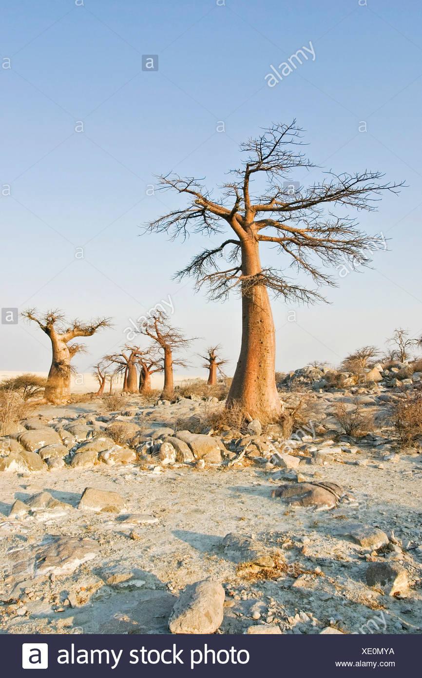Baobabs or Adansonia digitata on Kubu Island (Lekubu) in the south west of Sowa Pan, Makgadikgadi pans, Botswana, Africa - Stock Image