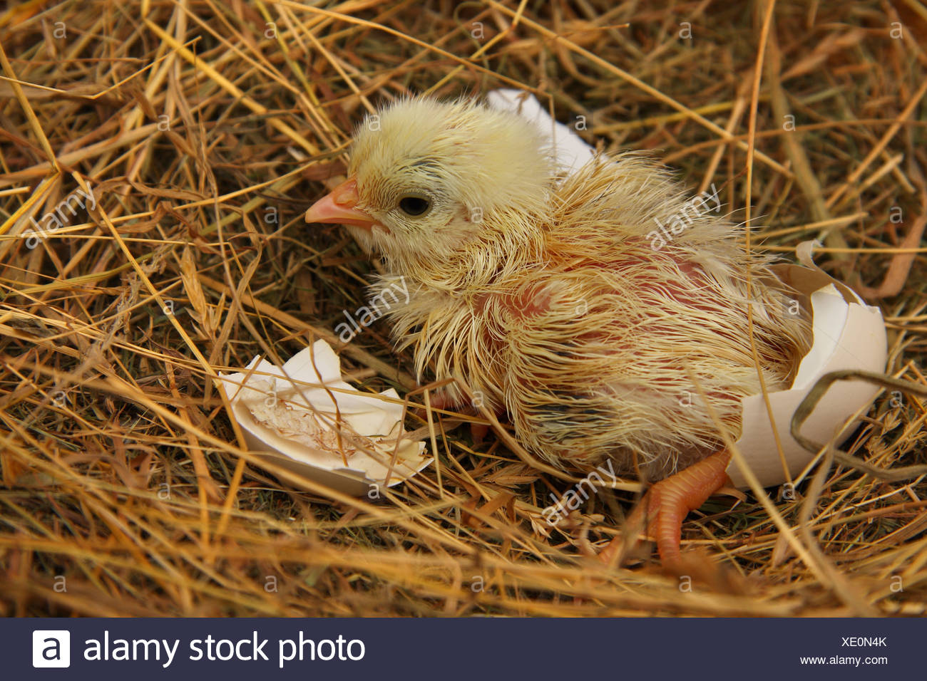 A recently hatched chicken chick in the nest still damp and with pieces of egg shell around it. - Stock Image
