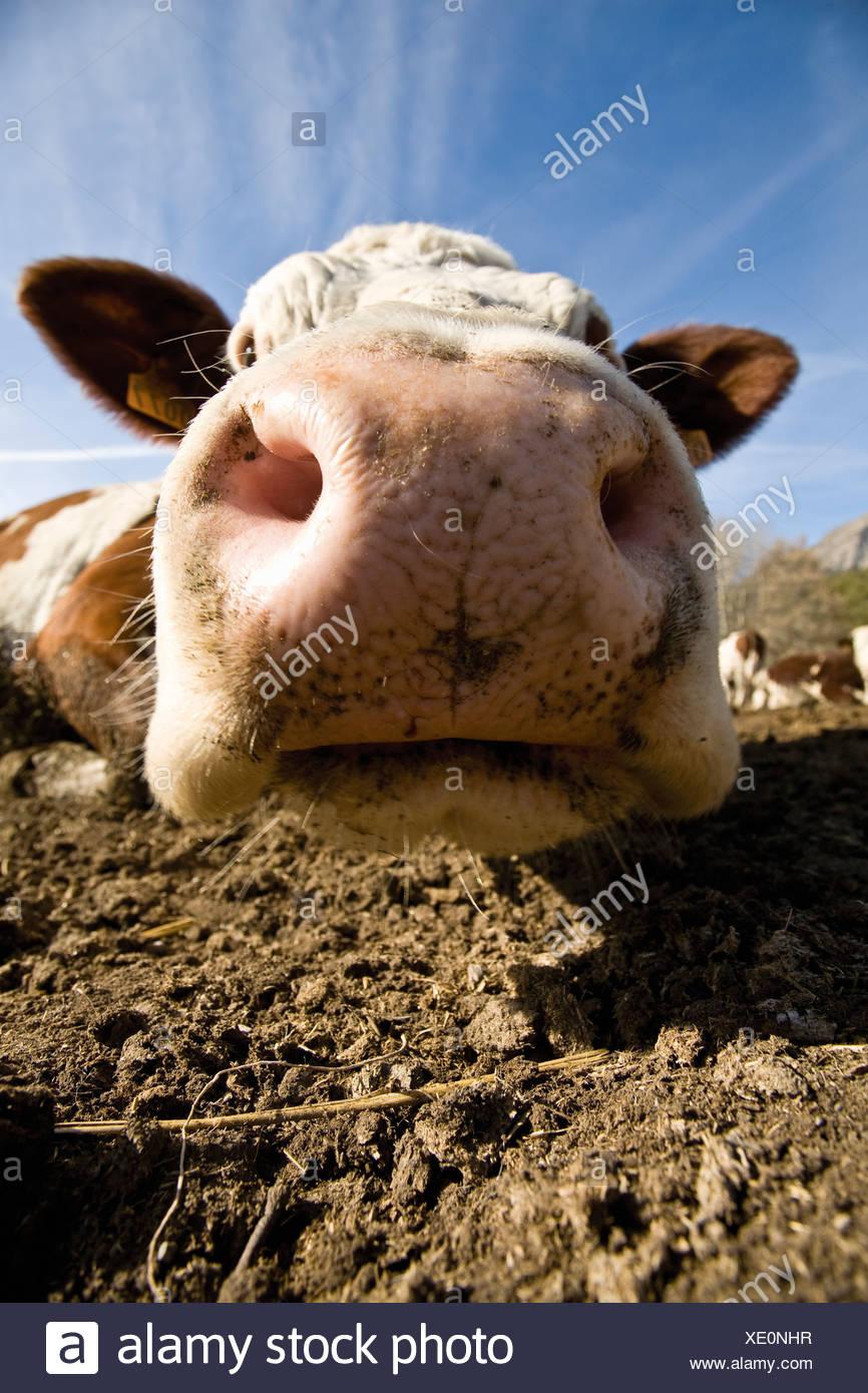 Cow's snout, close-up - Stock Image