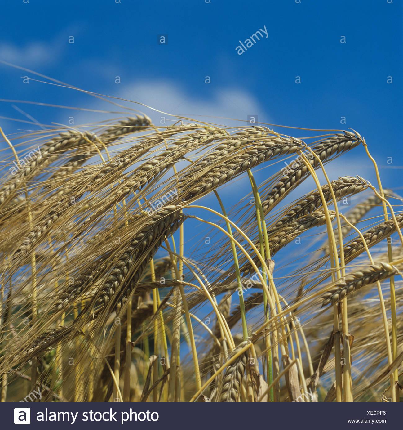 Barley ears Hordeum vulgare and blue sky in summer sunshine - Stock Image